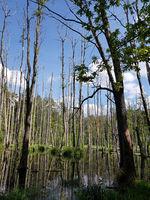 Spiegelung von toten Bäumen im Bruchwald der Briese, nördlich von Berlin