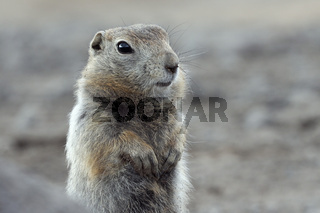 Portrait of Arctic ground squirrel. Curious wild animal of genus of medium sized rodents of squirrel family