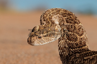 Defensive puff adder