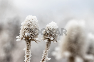 A dried Thistle flower covered in ice crystals