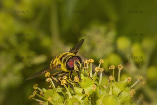 Totenkopfschwebfliege 'Myathropa florea'