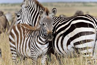 Zebramutter mit Fohlen
