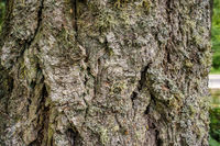Detail of various lichen species growing on bark of Douglas Fir tree