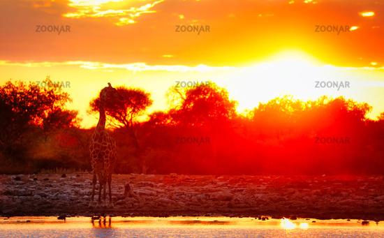 Giraffe im Sonnenaufgang am Wasserloch, Etosha-Nationalpark, Namibia, (Giraffa camelopardalis)   Giraffe in the sunrise at a waterhole, Etosha National Park, Namibia, (Giraffa camelopardalis)