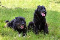 zwei schwarze Hunde