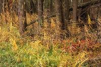 Schilfrohr (Phragmites australis)