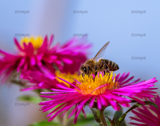 Bee collecting nectar at a pink aster blossom