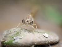 Portrait einer Kleinlibelle (Zygoptera) oder Wasserjunfer. Sie gehören zu den Libellen.