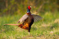 Eager male of common pheasant with fluttering wings lekking during courtship