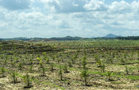 Plantage mit jungen Ölpalmen (Elaeis guineensis) auf gerodeteten Regenwaldflächen