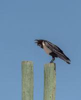 pied crow, Corvus albus, on a wooden pole in Etosha National Park, Namibia