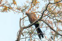 Grey Go-away-bird Namibia Africa wildlife