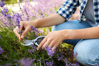 woman with picking lavender flowers in garden