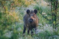 Wild boar in the morning