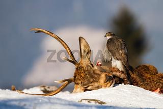 Northern goshawk sitting on dead deer in winter nature