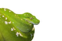 Grüne Baumpython Schlange freigestellt vor weißem Hintergrund