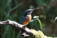 Common Kingfisher (Alcedo atthis), Eurasian kingfisher Germany