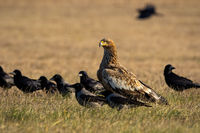 Eastern imperial eagle with flock of crows sitting on the ground around