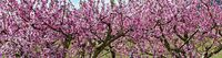 Rosa  blühende Obstbäume im Frühling