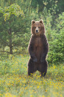 Majestic brown bear standing upright on glade in summer forest.