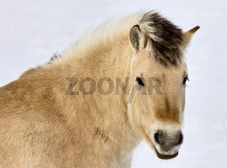 Lupine Horse Canada