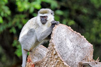 Grüne Meerkatze im Lake Mburo Nationalpark in Uganda (Chlorocebus) | vervet monkey at Lake Mburo National Park in Uganda (Chlorocebus)