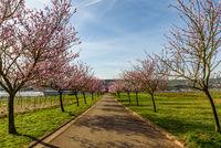 Allee blühender Mandelbäume am Geilweilerhof, Siebeldingen, Rheinland-Pfalz, Deutschland