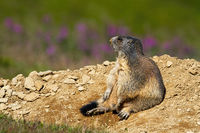 Wild alpine marmot sitting bored near its den and looking away