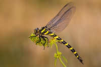 Golden ringed dragonfly, cordulegaster boltonii, in summer