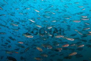 Schwarm Schwalbenschwanz-Riffbarsche, San Martin Island