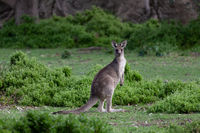 Kangaroo in green bush land
