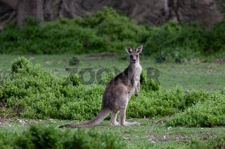 Kangaroo in green bush land