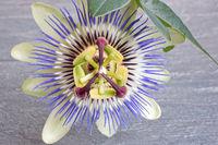 Nahaufnahme einer Passionsblume