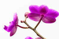 Pink orchid flower isolated on white background
