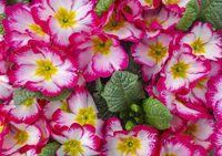 colorful primula flowers