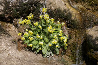 Echte Schlüsselblume (Primula veris, Syn. Primula officinalis), blühende Pflanze