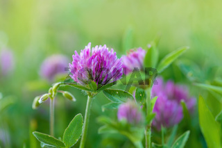Trifolium pratense. Thickets of a blossoming clover