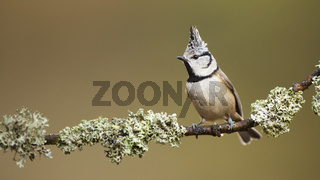 Flamboyant european crested tit posing on the lichen covered twig in the forest