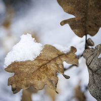 Oak tree leaf with snow in winter