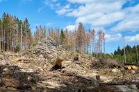 Abholzung zur Bekämpfung des Borkenkäfers in Schierke