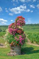 Weinberg in der Champagne region nahe Epernay,Frankreich