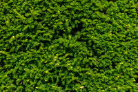Green coniferous texture