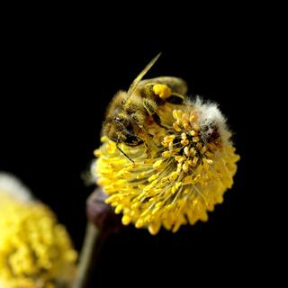 Weidenkaetzchen; Biene; Pollenhoeschen; Apis;