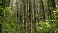 Große Bäume in einem riesigen Wald