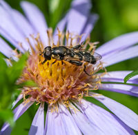Honeybee collecting nectar on a flower blossom