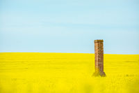 Old brick chimney ruin rises from canola fields