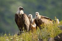 Numerous flock of griffon vulture sitting on horizon in sunny summer morning