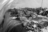 Erdbeerfeld unter Folie