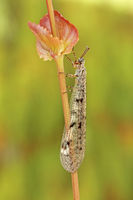 Geflecktflueglige Ameisenjungfer (Euroleon nostras)