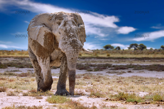 Elefant, Etosha-Nationalpark, Namibia, (Loxodonta africana) | elephant, Etosha National Park, Namibia, (Loxodonta africana)